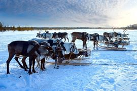 Europe Holidays - Finland, Lapland -Northern deer are in harness on snow