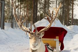 Europe Holidays - Finland, Lapland - reindeer, harnessed to a sled