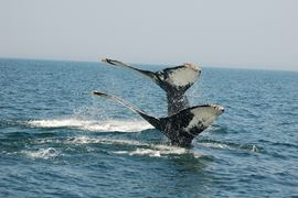 Canada Holidays - New Brunswick - humpbacks whales