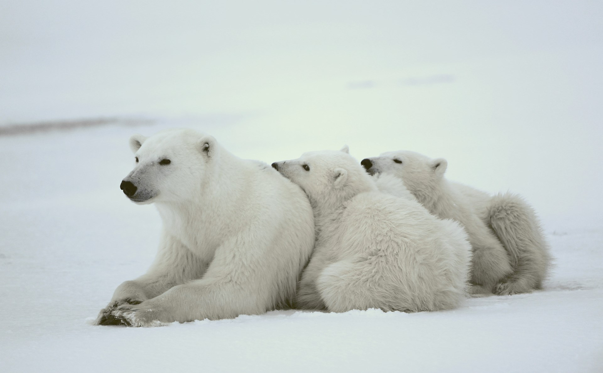 Polar Bears Of Canada Wildlife Holiday 2019 / 2020