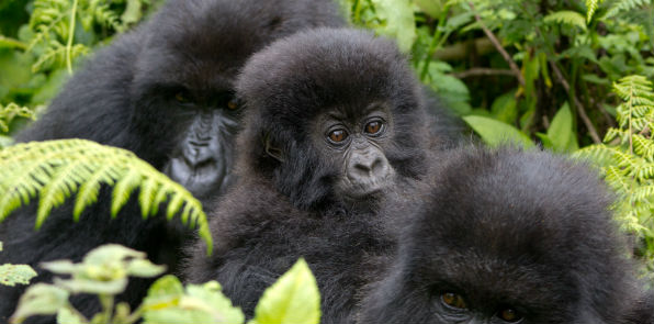 Gorillas & Game Parks